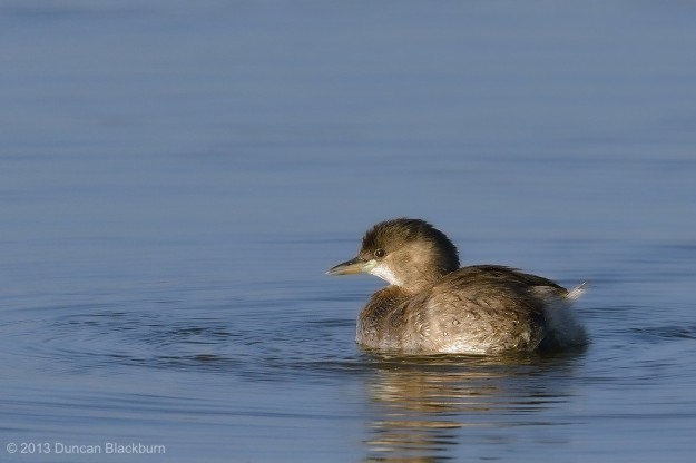 Adorable Dabchick